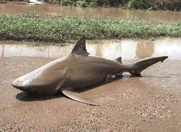 bull-shark-australia-sharknado-883127