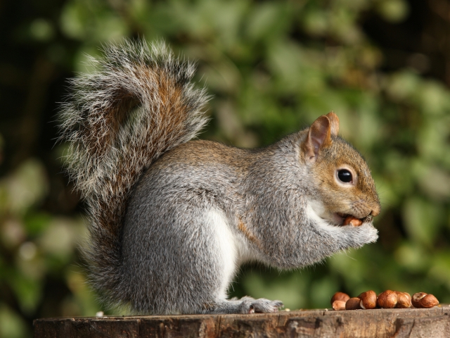 istock_000011878152_full_gray-squirrel.jpg